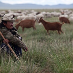 High cost of cashmere on Mongolia plains